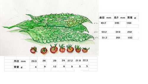 ゴーヤとミニトマト (600x343).jpg